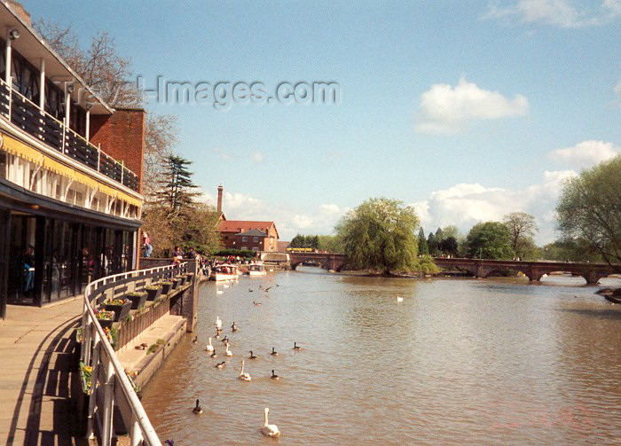 england8: England (UK) - Stratford-upon-Avon (Warwick county - Shakespeare Country): ducks - Bancroft gardens - photo by M.Torres - (c) Travel-Images.com - Stock Photography agency - Image Bank