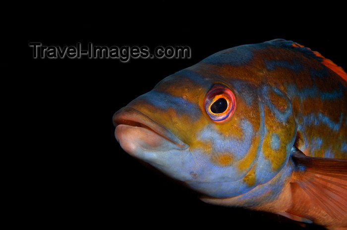 england804: English Channel, Cornwall, England: male cuckoo wrasse close up - Labrus mixtus - photo by D.Stephens - (c) Travel-Images.com - Stock Photography agency - Image Bank