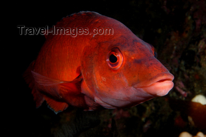 england806: English Channel, Cornwall, England: female cuckoo wrasse - Labrus mixtus - photo by D.Stephens - (c) Travel-Images.com - Stock Photography agency - Image Bank