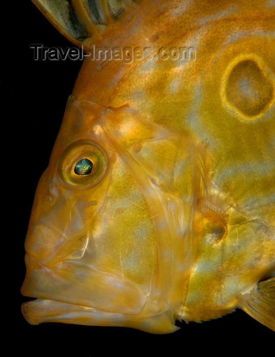 england807: English Channel, Cornwall, England: John Dory - Zeus faber - St Peters fish - photo by D.Stephens - (c) Travel-Images.com - Stock Photography agency - Image Bank