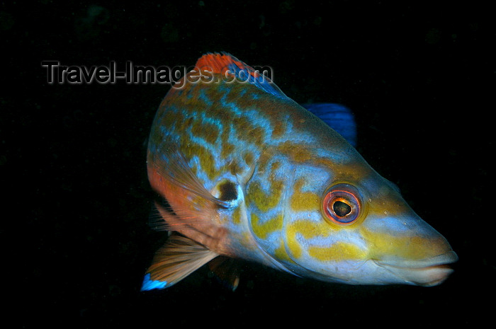 england809: English Channel, Cornwall, England: male cuckoo wrasse close up - Labrus mixtus - photo by D.Stephens - (c) Travel-Images.com - Stock Photography agency - Image Bank