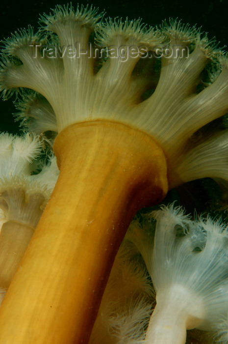 england810: English Channel, Cornwall, England: Plumose anemone - Metridium senile - photo by D.Stephens - (c) Travel-Images.com - Stock Photography agency - Image Bank