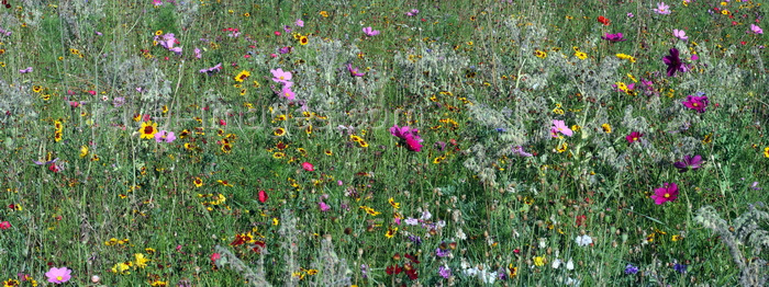 england9: London, England: planted wildflower meadow, Newham - photo by A.Bartel - (c) Travel-Images.com - Stock Photography agency - Image Bank