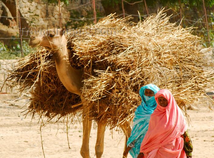 eritrea38: Eritrea - Keren, Anseba region: women transport straw in a camel - photo by E.Petitalot - (c) Travel-Images.com - Stock Photography agency - Image Bank