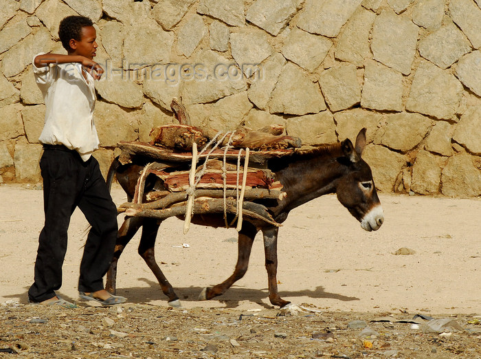 eritrea45: Eritrea - Keren, Anseba region: donkey transporting wood for the weekly market - photo by E.Petitalot - (c) Travel-Images.com - Stock Photography agency - Image Bank