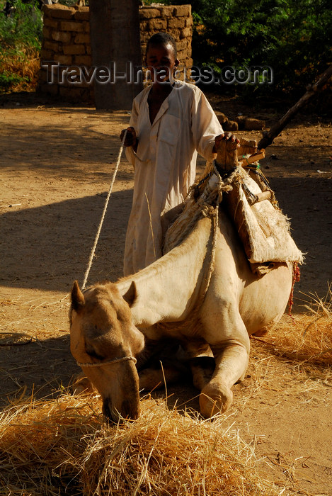 eritrea58: Eritrea - Hagaz, Anseba region - camel eating straw - photo by E.Petitalot - (c) Travel-Images.com - Stock Photography agency - Image Bank