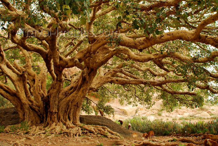 eritrea65: Eritrea - Senafe, Southern region: sheeps grazing in shade of a giant tree - photo by E.Petitalot - (c) Travel-Images.com - Stock Photography agency - Image Bank