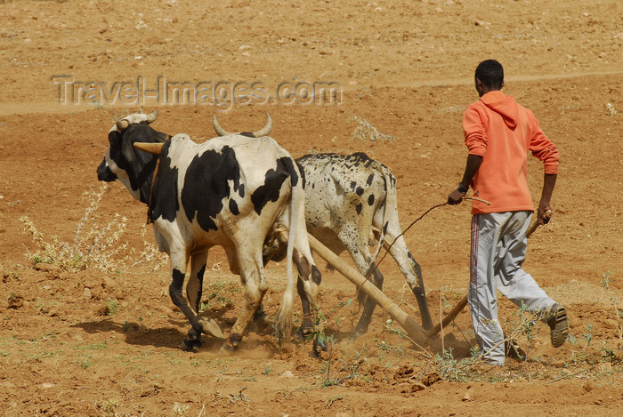 eritrea68: Eritrea - Senafe, Southern region: a ploughman in a dry field - agriculture - photo by E.Petitalot - (c) Travel-Images.com - Stock Photography agency - Image Bank