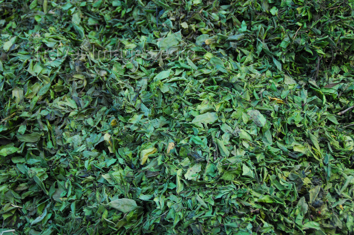 ethiopia231: Gondar, Amhara Region, Ethiopia: khat leaves for sale - also known as qat, gat, chat, and miraa - Catha edulis - consumed for the alkaloid cathinone, an amphetamine-like stimulant - photo by M.Torres - (c) Travel-Images.com - Stock Photography agency - Image Bank