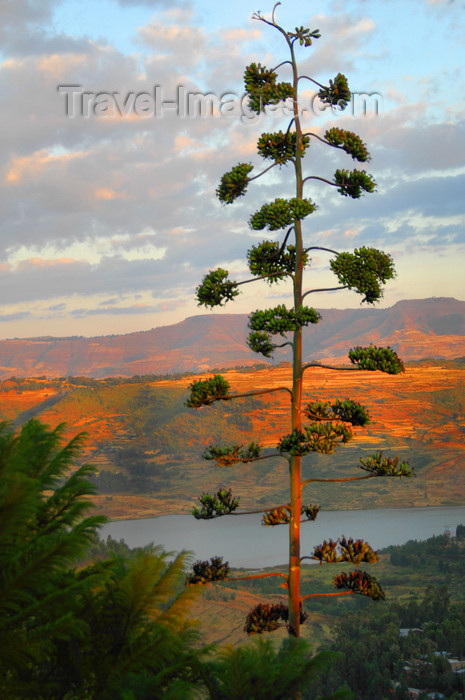 ethiopia236: Gondar, Amhara Region, Ethiopia: reservoir and flowering Century Plant or Maguey - Agave americana - photo by M.Torres - (c) Travel-Images.com - Stock Photography agency - Image Bank