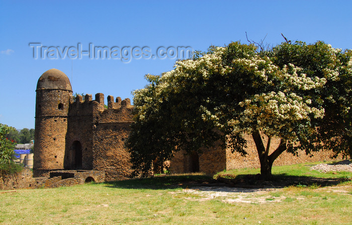 ethiopia296: Gondar, Amhara Region, Ethiopia: Royal Enclosure - large tree near Bakaffa's palace - photo by M.Torres - (c) Travel-Images.com - Stock Photography agency - Image Bank