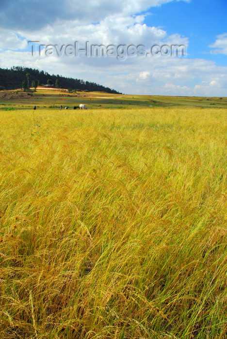 ethiopia336: Axum - Mehakelegnaw Zone, Tigray Region: Teff field - Eragrostis tef - cereal adapted to environments ranging from drought stress to waterlogged soil conditions - photo by M.Torres - (c) Travel-Images.com - Stock Photography agency - Image Bank