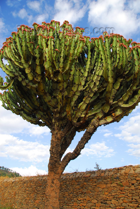 ethiopia347: Axum - Mehakelegnaw Zone, Tigray Region: Dungur - Queen of Sheba's palace - Dragon-Tree - photo by M.Torres - (c) Travel-Images.com - Stock Photography agency - Image Bank