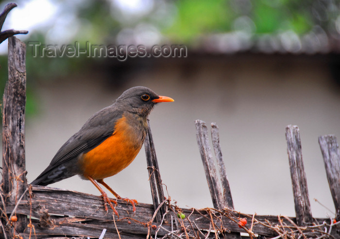 ethiopia415: Bahir Dar, Amhara, Ethiopia: bird on a fence - photo by M.Torres - (c) Travel-Images.com - Stock Photography agency - Image Bank