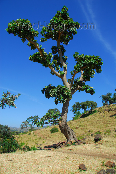 ethiopia440: Tis Issat, Amhara, Ethiopia: lone tree - photo by M.Torres - (c) Travel-Images.com - Stock Photography agency - Image Bank
