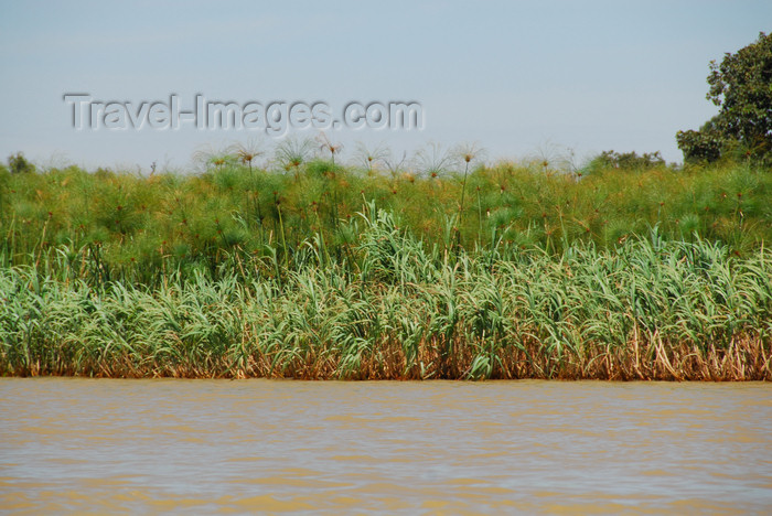 ethiopia495: Lake Tana, Amhara, Ethiopia: papyrus plant - Cyperus papyrus - photo by M.Torres  - (c) Travel-Images.com - Stock Photography agency - Image Bank