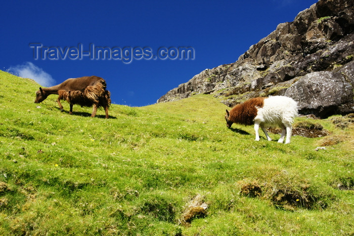 faeroe115: Kaldbaksfjørður, Streymoy island, Faroes: shaggy sheep grazing - rural scene - photo by A.Ferrari - (c) Travel-Images.com - Stock Photography agency - Image Bank
