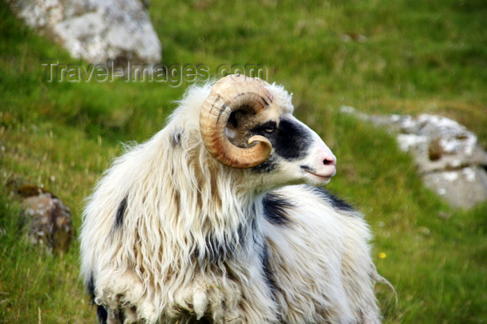 faeroe138: Streymoy island, Faroes: shaggy sheep along the hiking trail from Tórshavn to Kirkjubøur - photo by A.Ferrari - (c) Travel-Images.com - Stock Photography agency - Image Bank