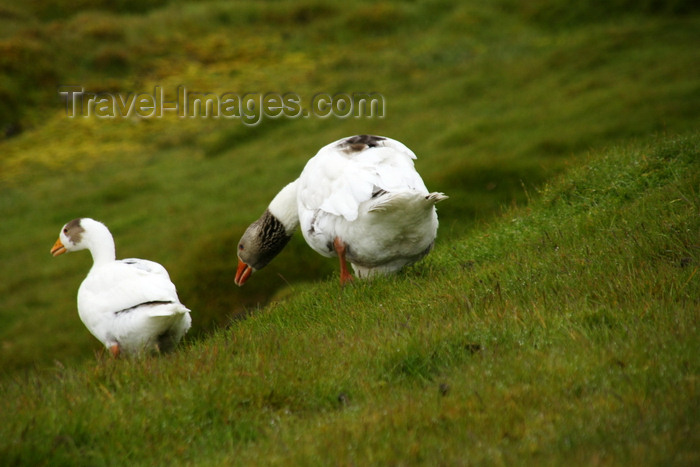 faeroe149: Kaldbaksbotnur, Streymoy island, Faroes: geese - photo by A.Ferrari - (c) Travel-Images.com - Stock Photography agency - Image Bank