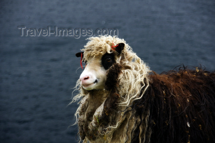 faeroe163: Kalsoy island, Norðoyar, Faroes: shaggy sheep with a smile - photo by A.Ferrari - (c) Travel-Images.com - Stock Photography agency - Image Bank