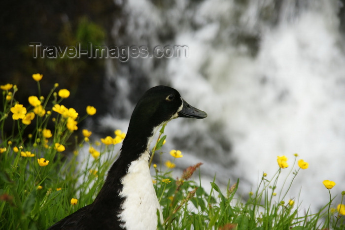 faeroe19: Gjógv village, Eysturoy island, Faroes: duck and yellow flowers - photo by A.Ferrari - (c) Travel-Images.com - Stock Photography agency - Image Bank