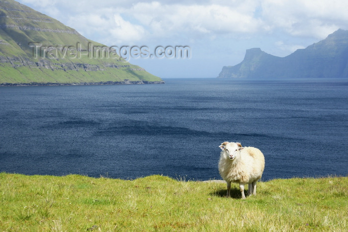 faeroe23: Eysturoy island, Faroes: sheep, on the shore of Funningsfjørður inlet - photo by A.Ferrari - (c) Travel-Images.com - Stock Photography agency - Image Bank