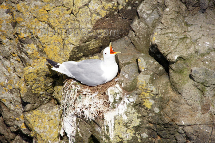 faeroe35: Mykines island, Faroes: gull on its cliff side nest - photo by A.Ferrari - (c) Travel-Images.com - Stock Photography agency - Image Bank