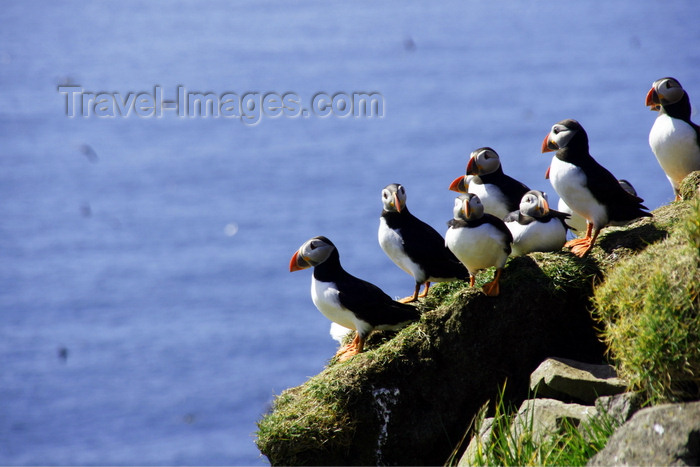faeroe49: Mykines island, Faroes: Atlantic Puffins over rocks - Fratercula arctica - photo by A.Ferrari - (c) Travel-Images.com - Stock Photography agency - Image Bank
