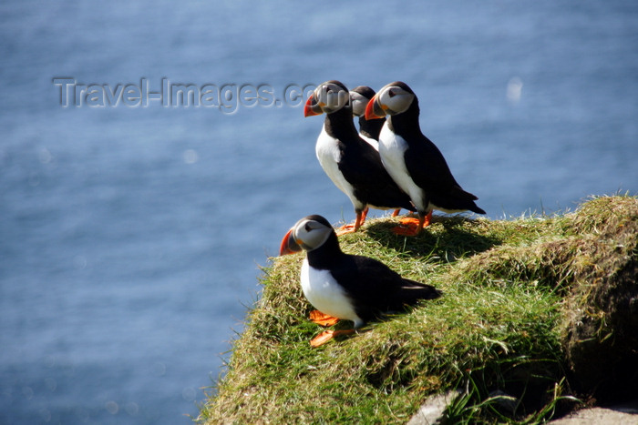 faeroe50: Mykines island, Faroes: Atlantic Puffins on the grass - pelagic seabirds - Fratercula arctica - photo by A.Ferrari - (c) Travel-Images.com - Stock Photography agency - Image Bank