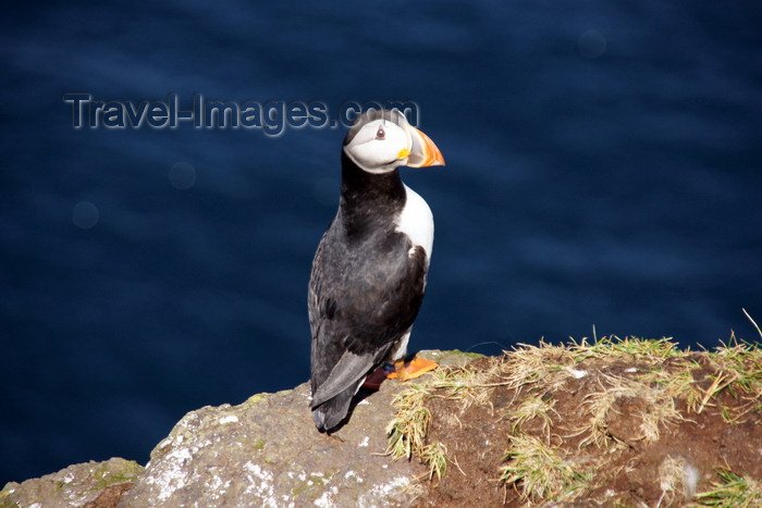 faeroe52: Mykines island, Faroes: Atlantic Puffin - Fratercula arctica - the colourful outer part of the bill is shed after the breeding season - photo by A.Ferrari - (c) Travel-Images.com - Stock Photography agency - Image Bank
