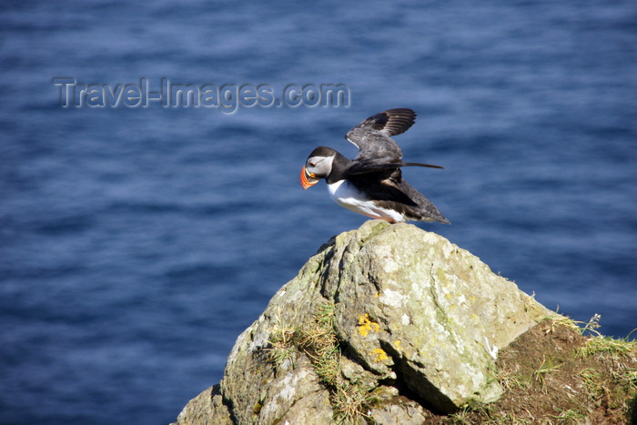 faeroe53: Mykines island, Faroes: Atlantic Puffin preparing to fly - Fratercula arctica - photo by A.Ferrari - (c) Travel-Images.com - Stock Photography agency - Image Bank