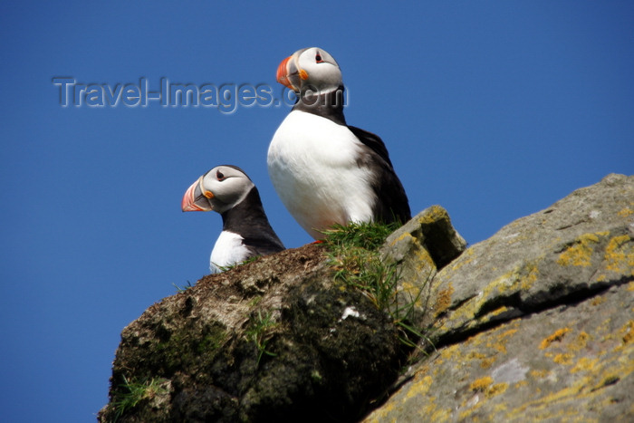 faeroe54: Mykines island, Faroes: Atlantic Puffins contemplate the sea - Fratercula arctica - photo by A.Ferrari - (c) Travel-Images.com - Stock Photography agency - Image Bank