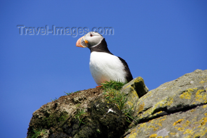 faeroe55: Mykines island, Faroes: Atlantic Puffin looks at the camera - Fratercula arctica - photo by A.Ferrari - (c) Travel-Images.com - Stock Photography agency - Image Bank