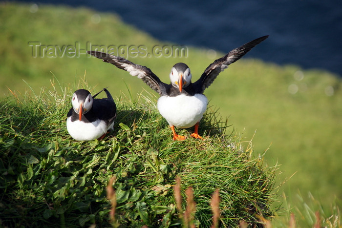 faeroe56: Mykines island, Faroes: pair of Atlantic Puffins on a cliff top - Fratercula arctica - photo by A.Ferrari - (c) Travel-Images.com - Stock Photography agency - Image Bank