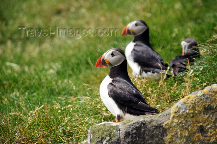 faeroe57: Mykines island, Faroes: Atlantic Puffins on the grass - Fratercula arctica - photo by A.Ferrari - (c) Travel-Images.com - Stock Photography agency - Image Bank