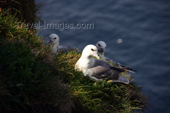 faeroe60: Mykines island, Faroes: gulls on a cliff - photo by A.Ferrari - (c) Travel-Images.com - Stock Photography agency - Image Bank