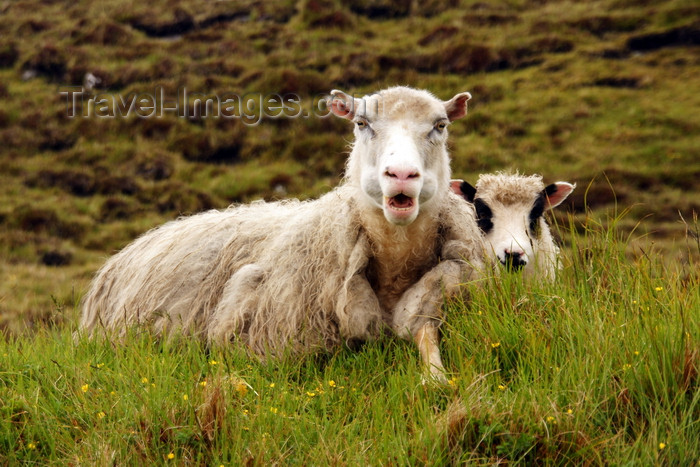 faeroe62: Vágar island, Faroes: sheep on the shore of Sørvagsvatn lake - photo by A.Ferrari - (c) Travel-Images.com - Stock Photography agency - Image Bank