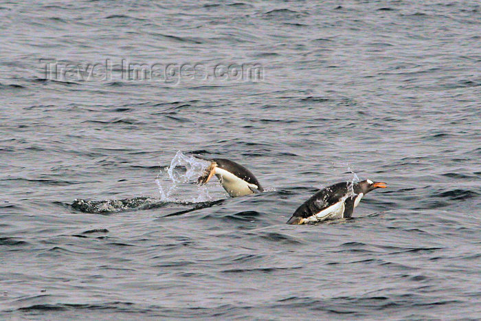falkland10: Falkland islands / Ilhas Malvinas Port Stanley: Gentoo Penguins swimming - Pygoscelis papua - Manchot papou - fauna - South Atlantic - photo by C.Breschi - (c) Travel-Images.com - Stock Photography agency - Image Bank
