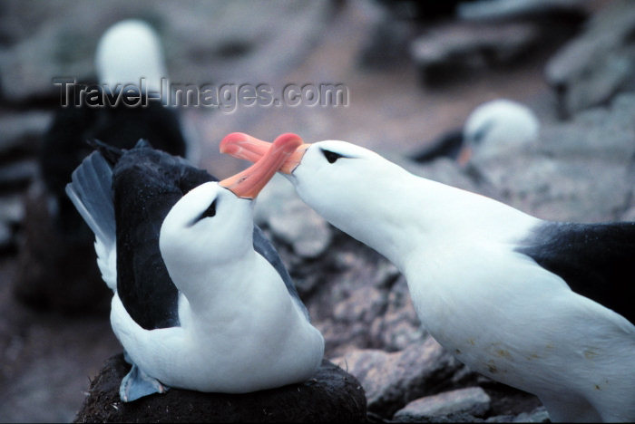 falkland16: Falkland islands / Ilhas Malvinas - New Island Sanctuary - West Falkland / Isla Gran Malvina: breeding pair of Black-Browed Albatross - Diomedea melanophris - South Atlantic fauna - birds (photo by Rod Eime) - (c) Travel-Images.com - Stock Photography agency - Image Bank