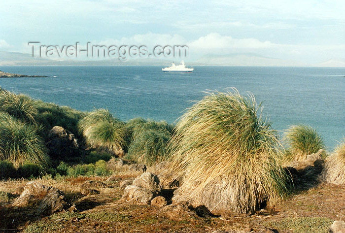 falkland17: Falkland islands / Ilhas Malvinas - Carcass Island - West Falkland: coast - Tussac Grass - tussock - Parodiochloa flabellata - a kind of tall grass (photo by G.Frysinger) - (c) Travel-Images.com - Stock Photography agency - Image Bank