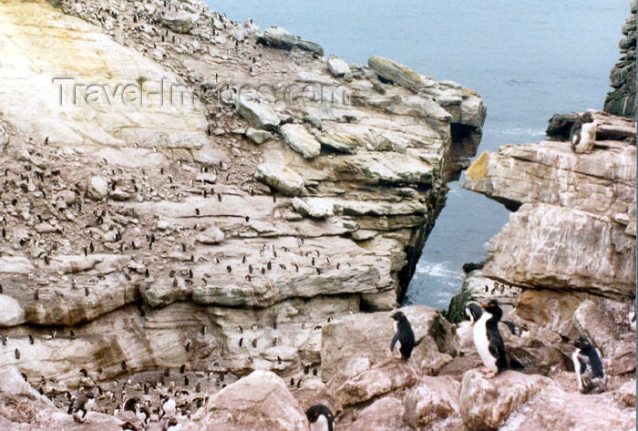 falkland20: Falkland islands / Ilhas Malvinas - Carcass Island: Rockhopper penguin colony / rookery - Eudyptes chrysocome chrysocome (photo by G.Frysinger) - (c) Travel-Images.com - Stock Photography agency - Image Bank