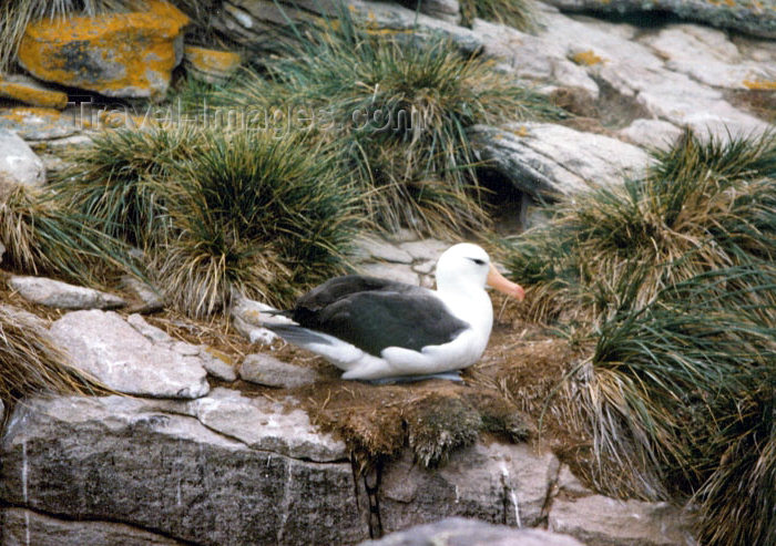 falkland21: Falkland islands / Ilhas Malvinas - Carcass Island: albatross on the cliffs - Tussac Grass (photo by G.Frysinger) - (c) Travel-Images.com - Stock Photography agency - Image Bank