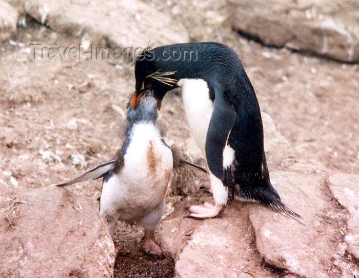 falkland23: Falkland islands / Ilhas Malvinas - Carcass Island: Rockhopper penguin feeding the young - Eudyptes chrysocome chrysocome (photo by G.Frysinger) - (c) Travel-Images.com - Stock Photography agency - Image Bank