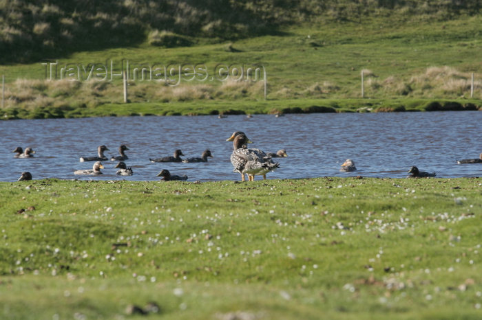 falkland26: Falkland islands - East Falkland - Port Louis - ducks in a pond - photo by Christophe Breschi - (c) Travel-Images.com - Stock Photography agency - Image Bank