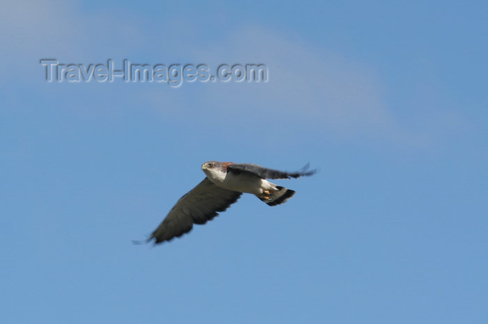 falkland30: Falkland islands - East Falkland - Port Louis - Red-backed Hawk in flight - Red-backed Buzzard - Buteo polyosoma - photo by Christophe Breschi - (c) Travel-Images.com - Stock Photography agency - Image Bank