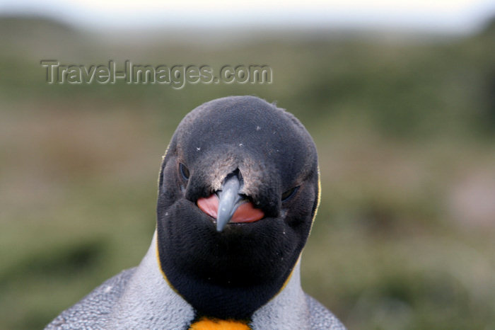 falkland38: Falkland islands - East Falkland - Salvador - face of King Penguin - Aptenodytes patagonicus - photo by Christophe Breschi - (c) Travel-Images.com - Stock Photography agency - Image Bank