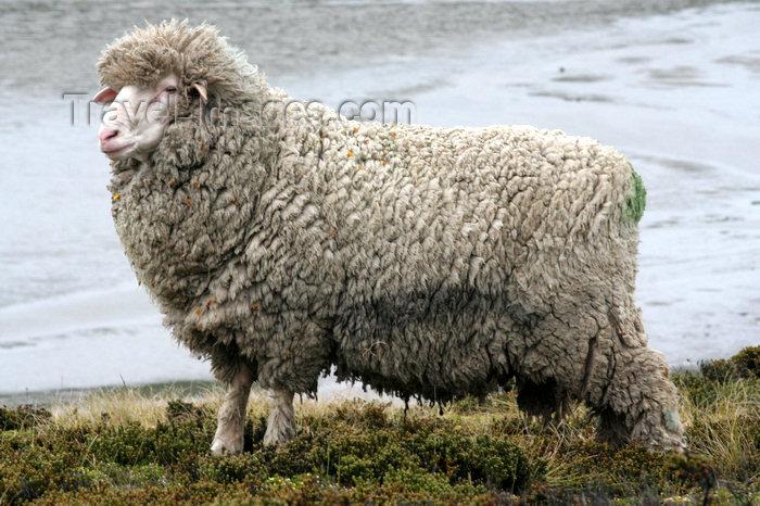 falkland39: Falkland islands - East Falkland - Salvador - Falkland sheep - wool production - photo by Christophe Breschi - (c) Travel-Images.com - Stock Photography agency - Image Bank