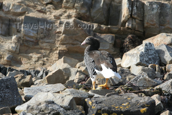 falkland41: Falkland islands - East Falkland - Salvador - Kelp Goose on rocks - Chloephaga hybrida malvinarum - photo by Christophe Breschi - (c) Travel-Images.com - Stock Photography agency - Image Bank