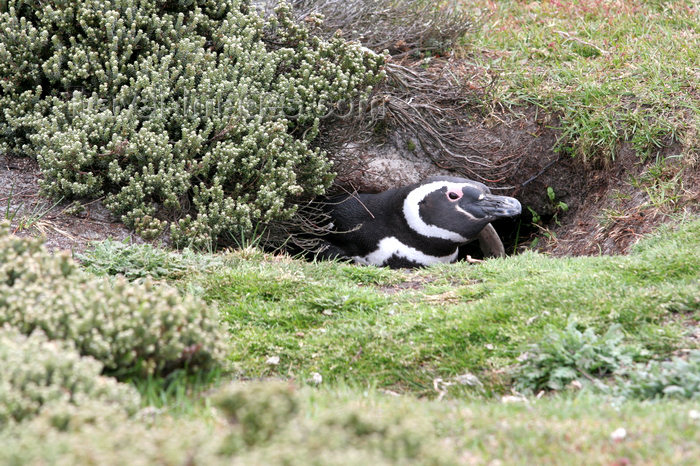 falkland43: Falkland islands - East Falkland - Salvador - Magellanic Penguin in a burrow - Jackass -  Spheniscus magellanicus - photo by Christophe Breschi - (c) Travel-Images.com - Stock Photography agency - Image Bank