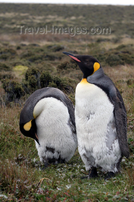 falkland45: Falkland islands - East Falkland - Salvador - pair of King Penguins - Aptenodytes patagonicus - photo by Christophe Breschi - (c) Travel-Images.com - Stock Photography agency - Image Bank